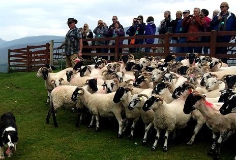 culloden-battlefield-sheepdogs